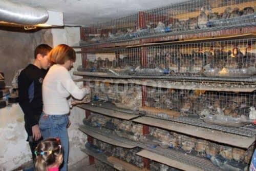 Выращивание куропаток в домашних условиях с нуля 71